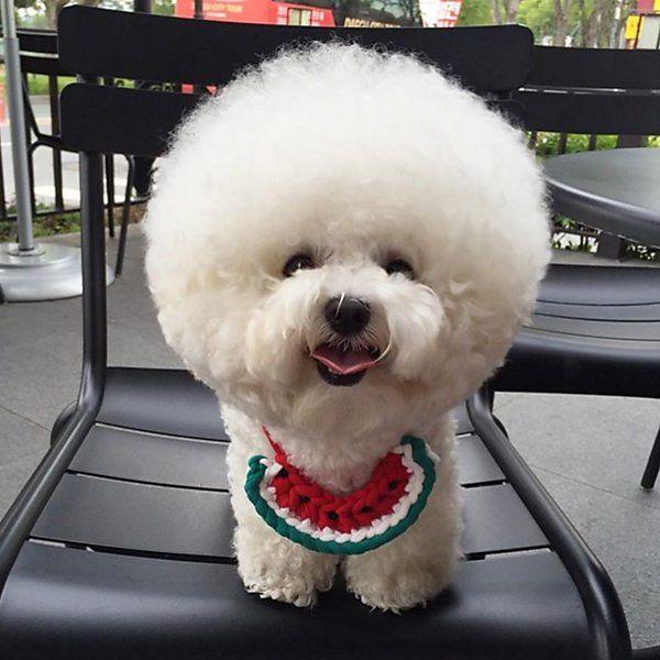 "Folha de S.Paulo on Twitter: ""Cachorro ou bola de algodão? Conheça Tori, uma bichon frisé https://t.co/m3Q0Asgj9i https://t.co/jyWOuxwbUw"""