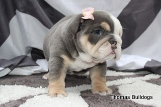 Blue Tri Quad Carrier Female English Bulldog Bulldog Puppies