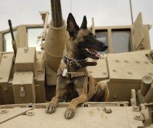 belgian-malinois future dog I want! - Niedorf