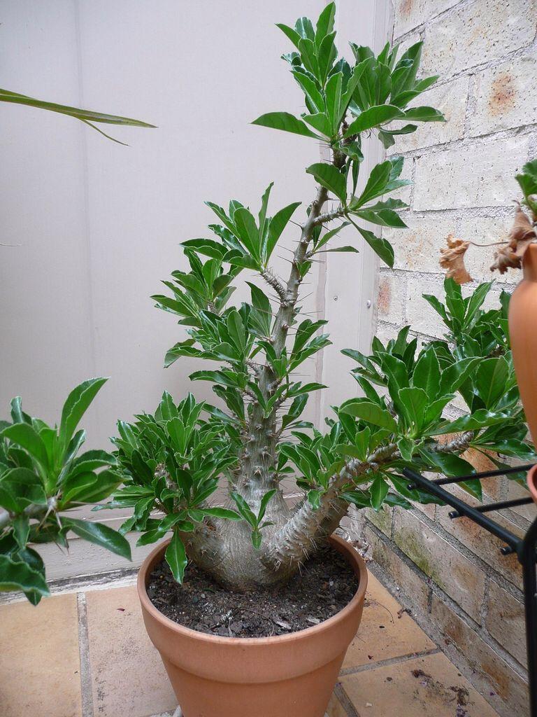 Pachypodium lealii var saundersii