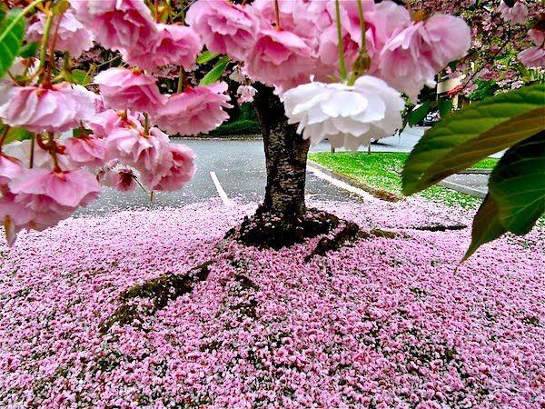 cherry+blossom1.jpg 600×450 pixels