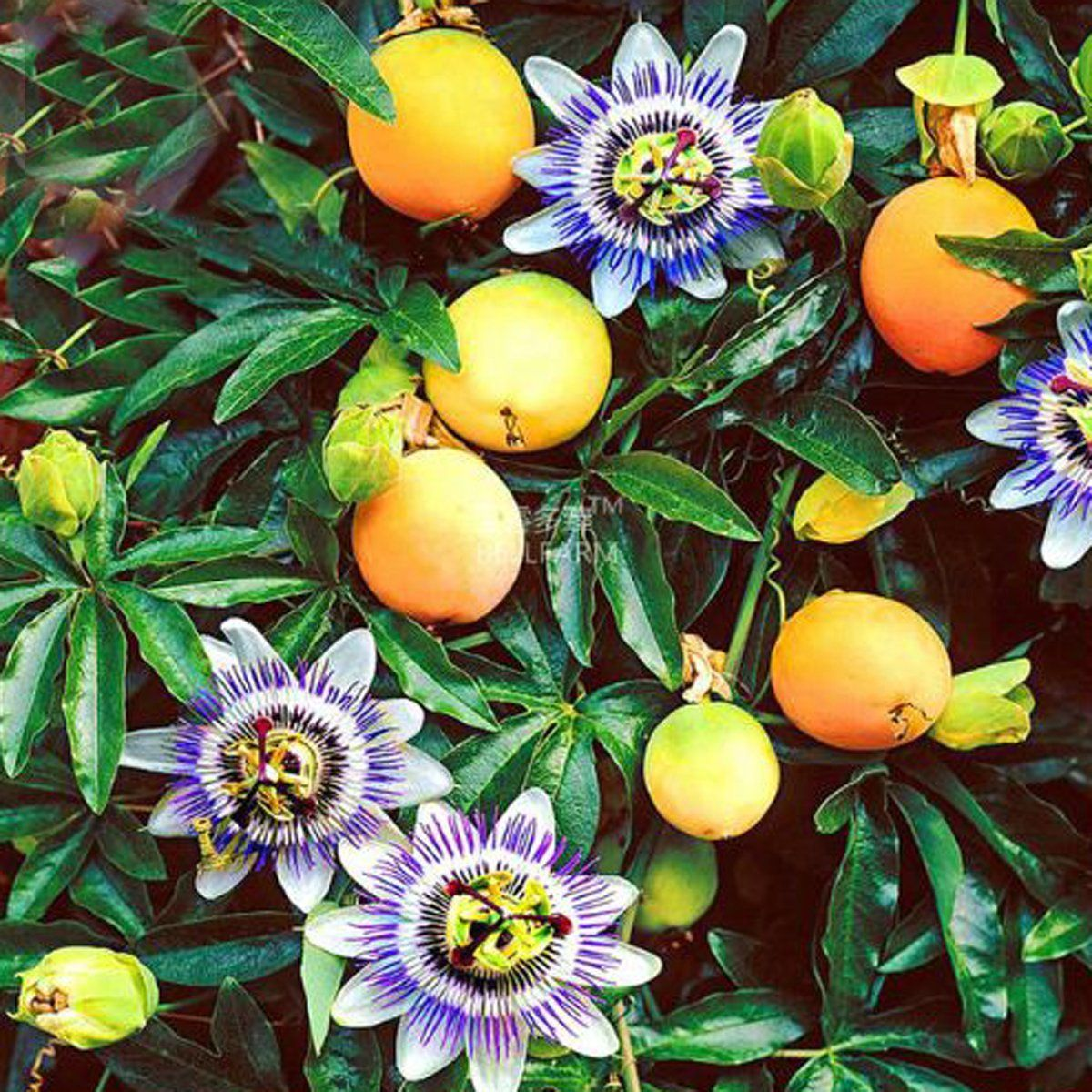 Best Garden Seeds New Variety Passiflora