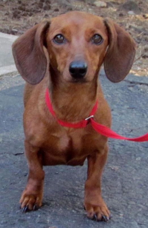 Trixxi A Precious Red Dachshund Is Available For Adoption From