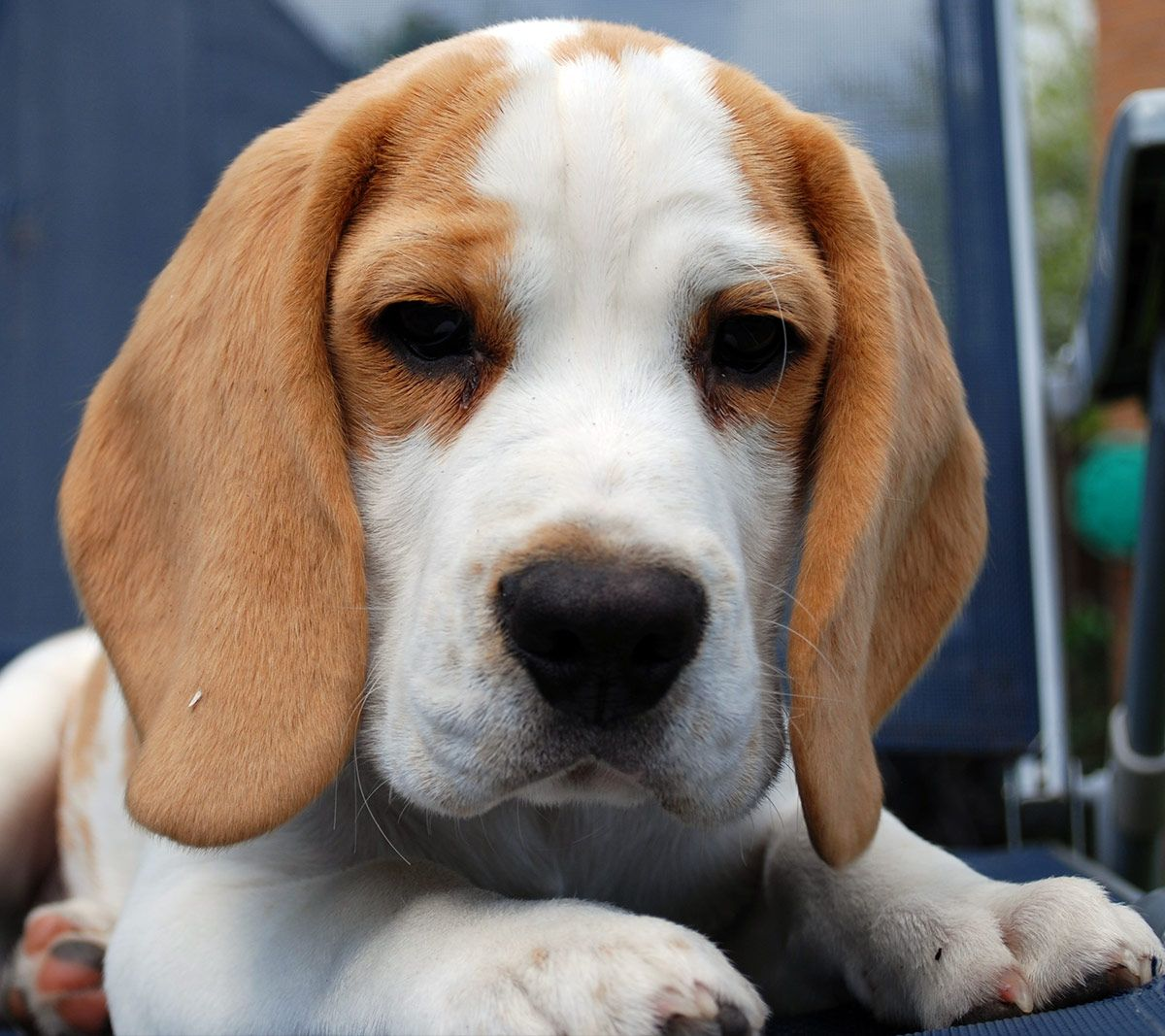 Lemon Beagle 33 Fantastic Facts From History To Present Day In