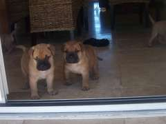 Bullmastiff Purebred Puppies Puppies For Sale Little Hartley New