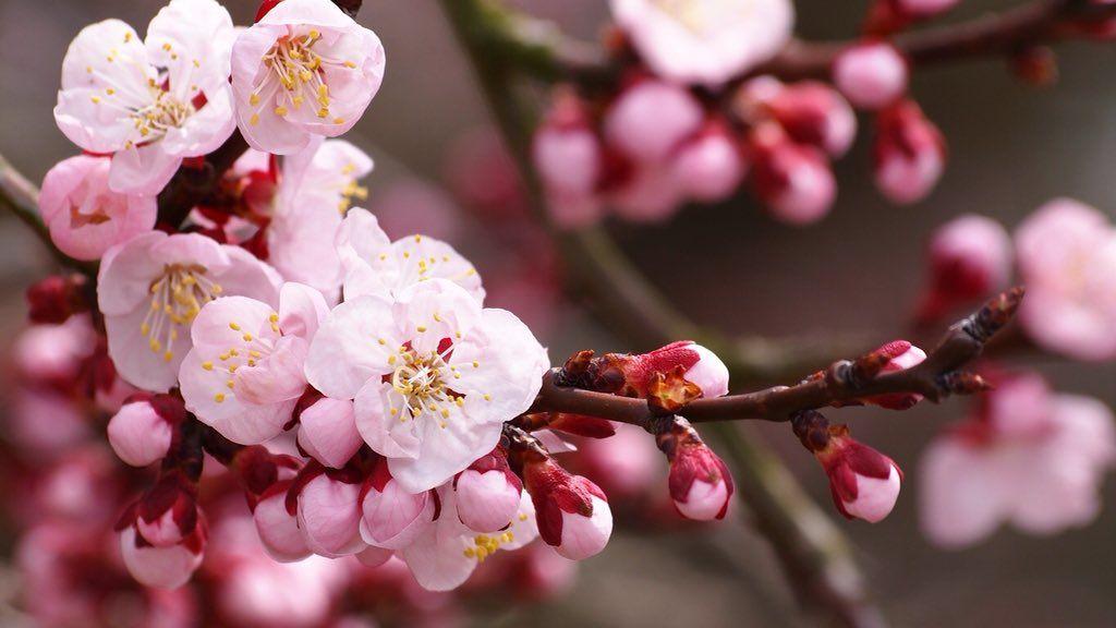 Dan Glover Danglover1 Twitter Cherry Blossom Wallpaper Apricot Blossom Cherry Blossom Flowers