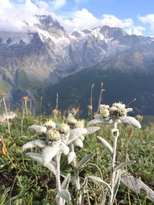 Pin By Susan Lee On Mountains Aound The World Edelweiss Flower National Flower Alpine Flowers