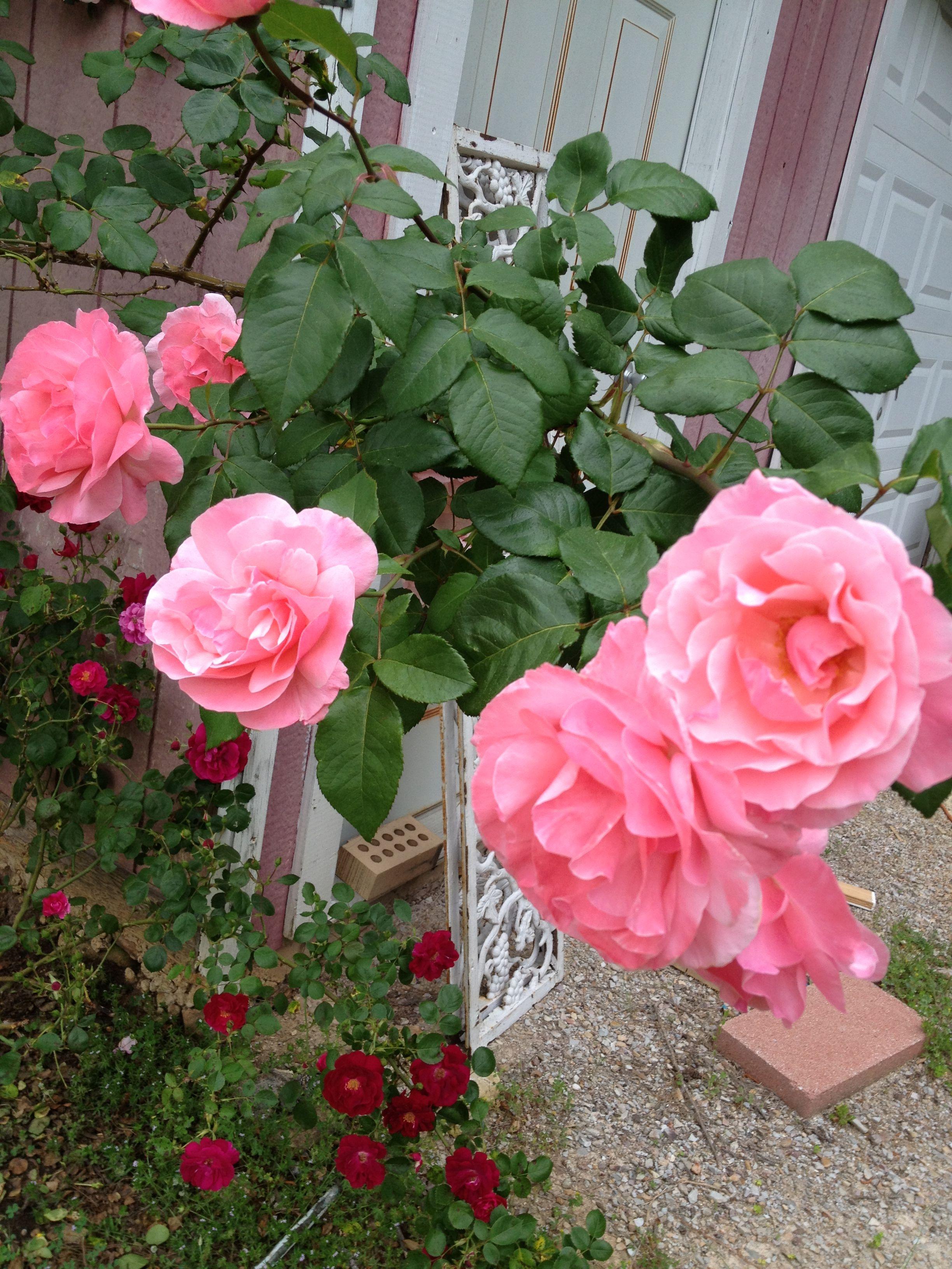 Queen elizabeth pink climbing rose favorite flowers gardens queen elizabeth pink climbing rose mightylinksfo