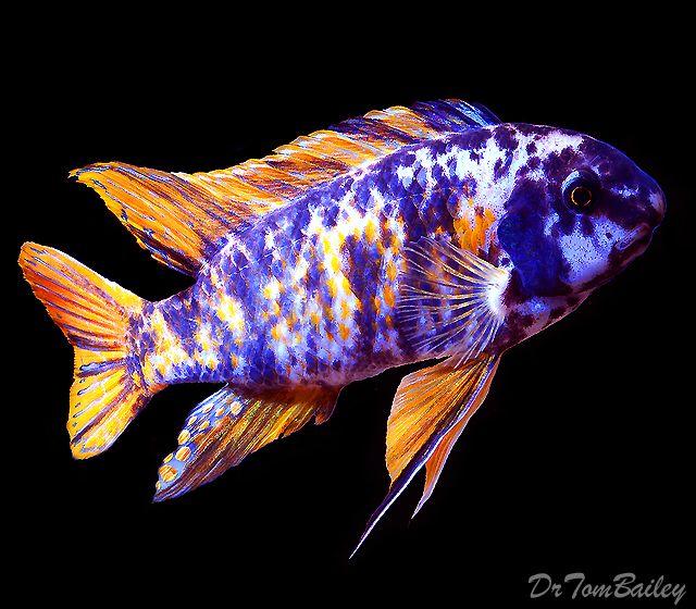 A large male marmalade cat fuelleborni which is a rare for Rare aquarium fish
