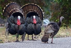 my mom raised a flock of turkeys every year,they were good guard animals; a little scary when you are young