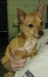 Mr Bean Is An Adoptable Chihuahua Dog In South Burlington Vt