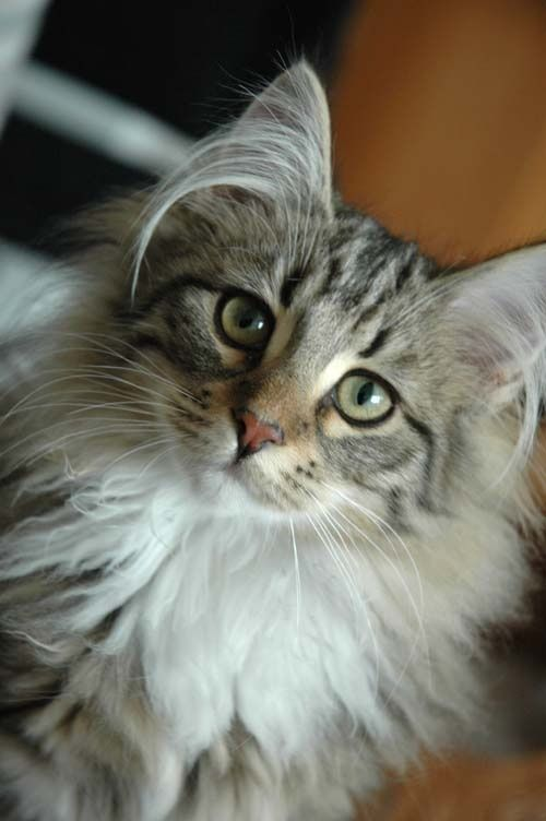Pin By Prisluvsglitz On Cats Norwegian Forest Cat Forest Cat Cats