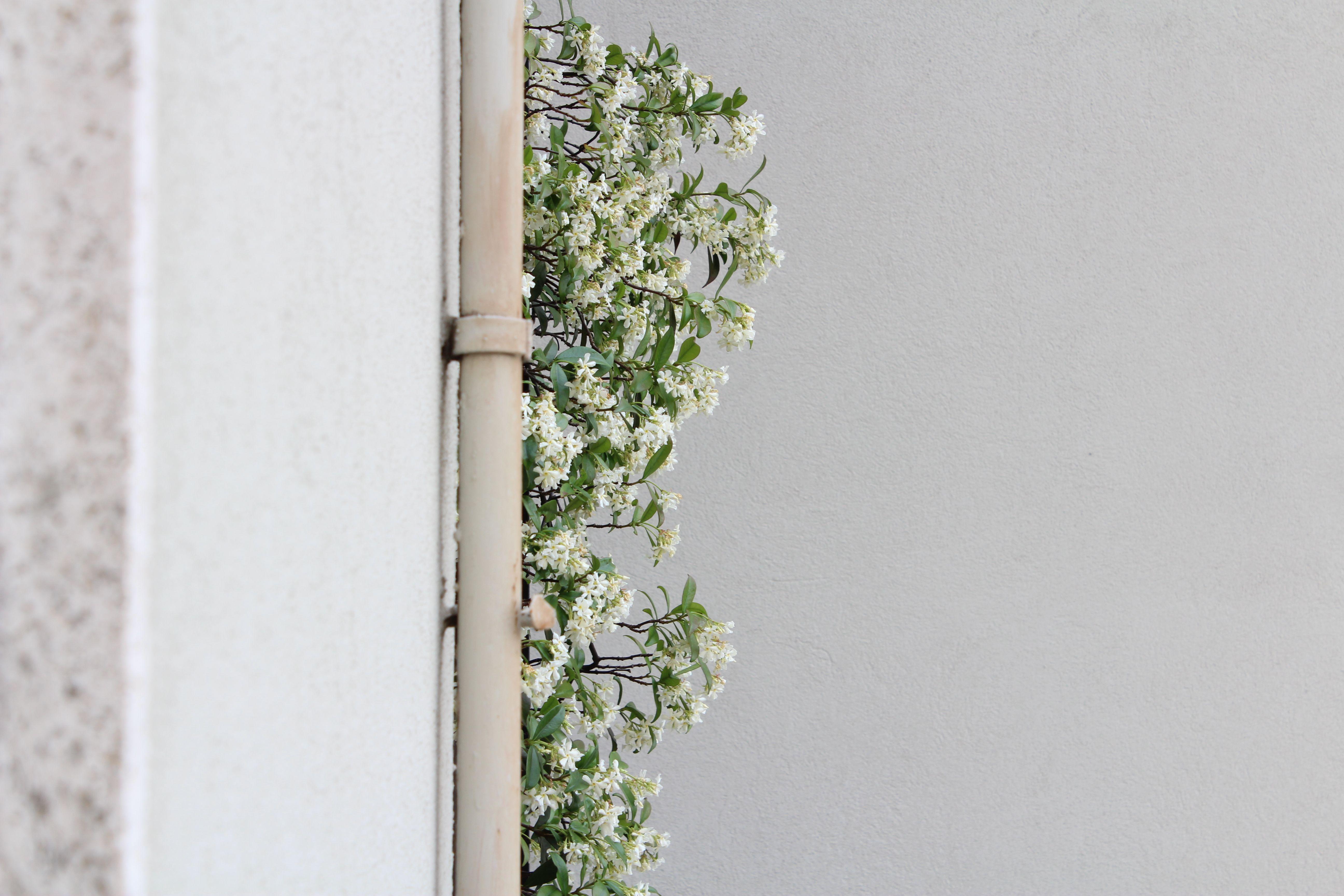in estate adoro intravedere dalla finestra della camera il mio #gelsomino in fiore... e poi che profumo! wonderful!