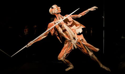 muscle | body worlds exhibit | pinterest | muscles, Muscles