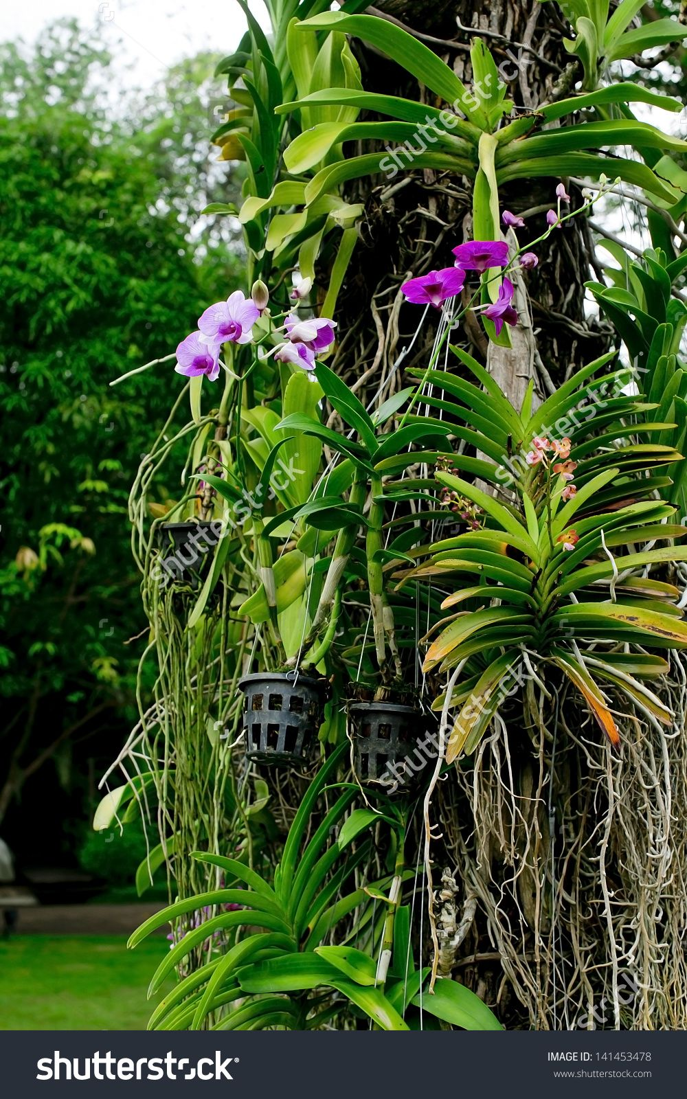 Orchids Hanging Tree Trunk Thailand Rain Stock Photo 141453478