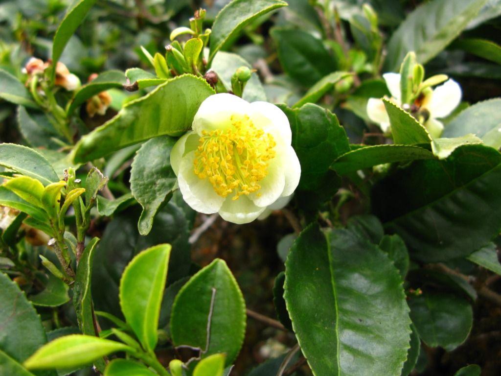 Beautiful Darjeeling Tea Flower Www Teacampaign Ca Source See Below Green Tea Plant Flower Tea Darjeeling Tea