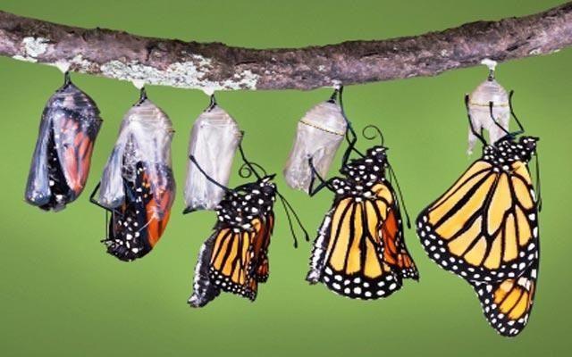 قصة صغيرة وحكمة أعجبتني رجل وقف يشاهد فراشة تحاول الخروج من شرنقتها وكانت تصارع للخروج ثم توقفت فجأة وكأنها Monarch Butterfly Butterfly Life Cycle Butterfly