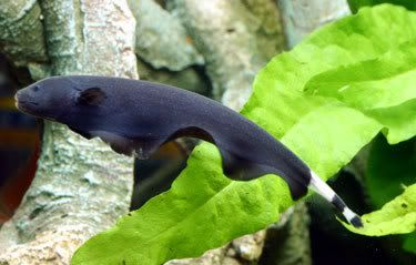 Black Ghost Knife Fish Very Cool Tropical Fish Tanks Tropical Fish Aquarium Fish