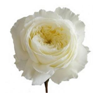 patience garden roses - White Patience Garden Rose