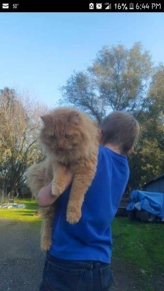 LOST CAT: 02/05/2018 - Loomis, California, CA, United States. Ref#: L41306 - #CritterAlert #LostPet #LostCat #MissingCat