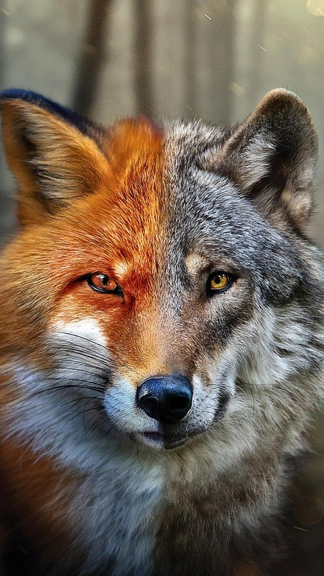 FoxWolf iWallpaper (With images) Animals beautiful