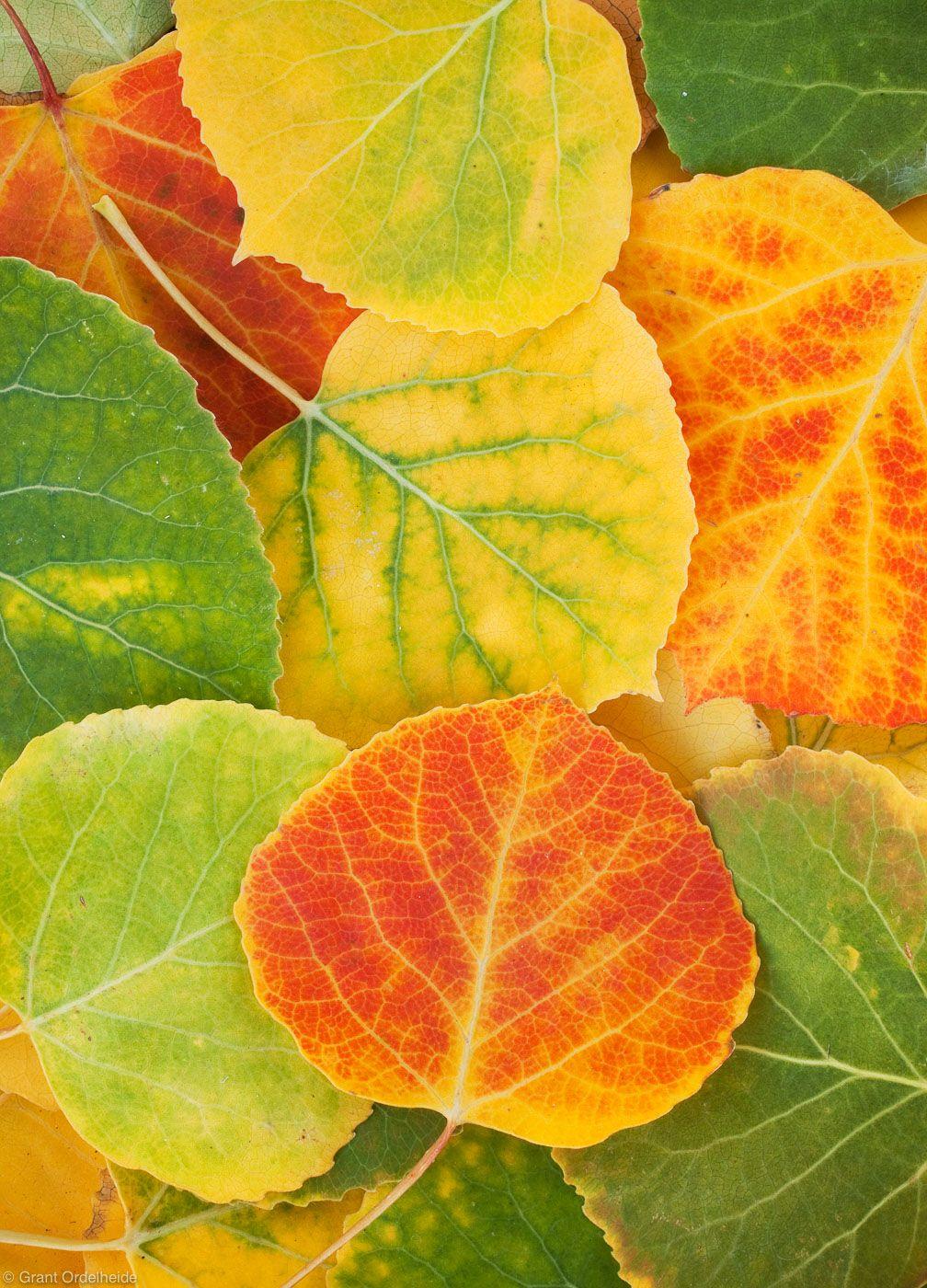 Aspen Leaves Photo Cool Images Pinterest Aspen Leaf