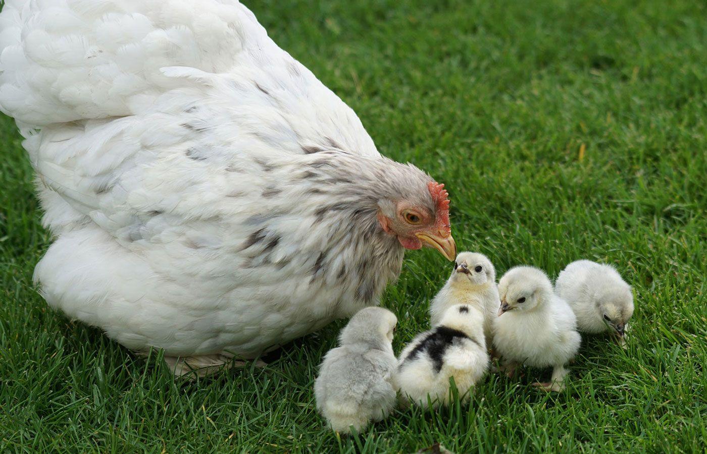 Welche Hühnerrasse passt für deinen Hühnerstall