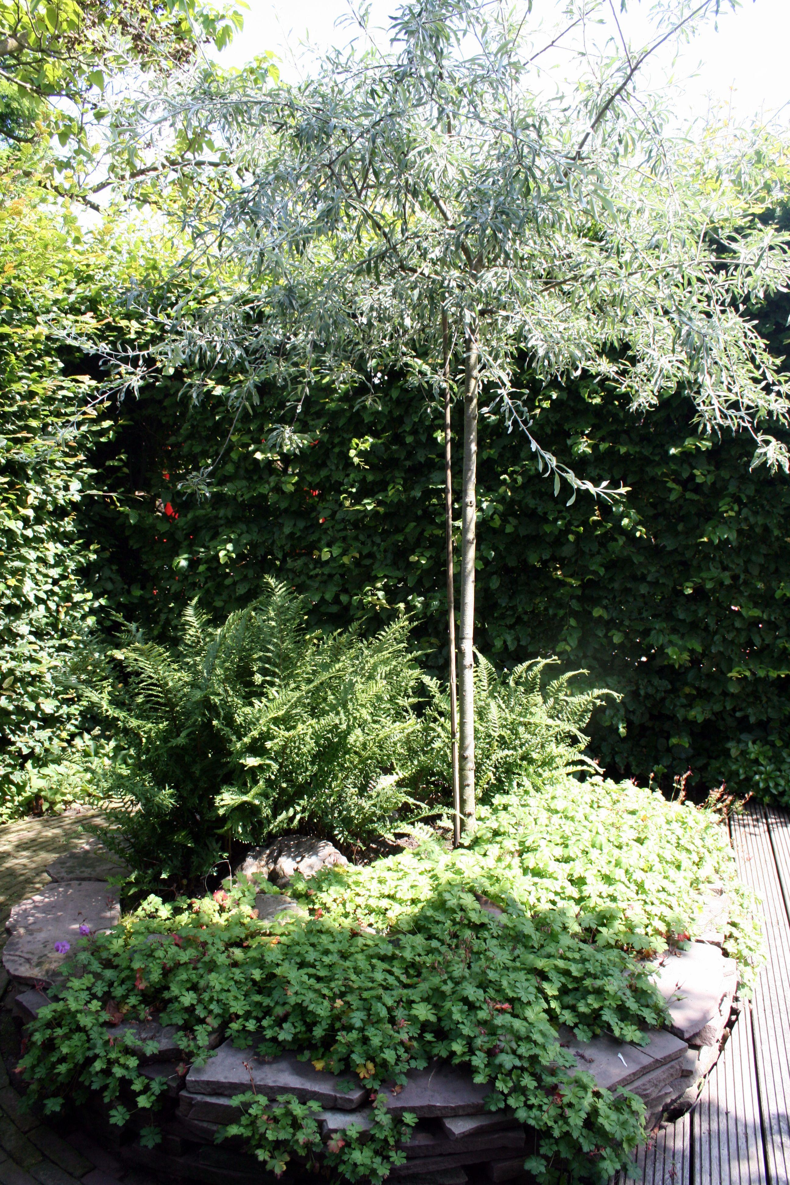 Weidenblättrige Birne Vg Gartenreise Holland Belgien Garten Neu
