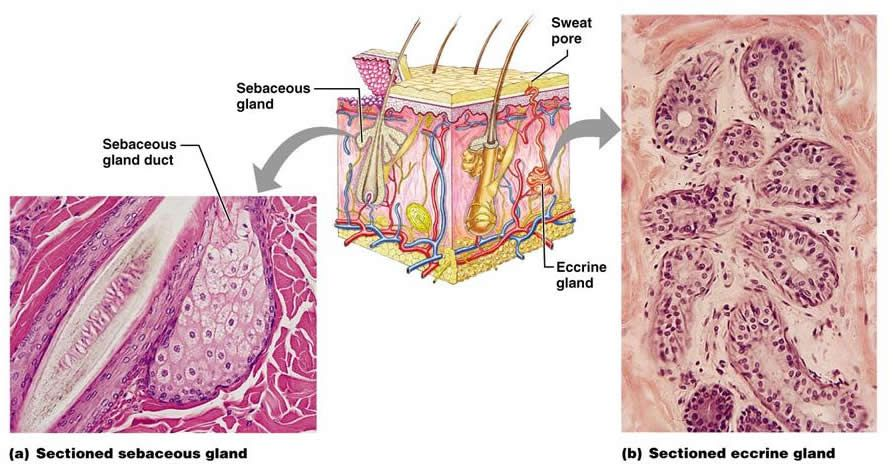 sudoriferous glands are sweat glands and these sweat glands branch, Human Body