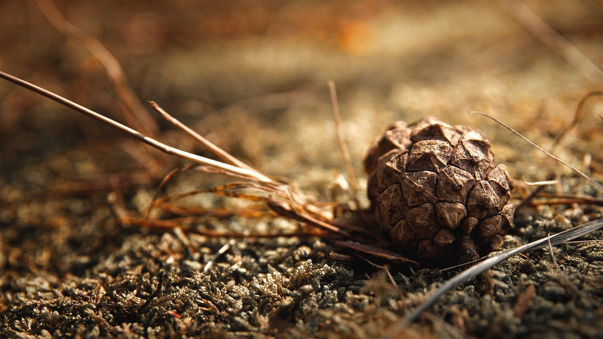 Fir cones on a branch wallpapers and images wallpapers pictures