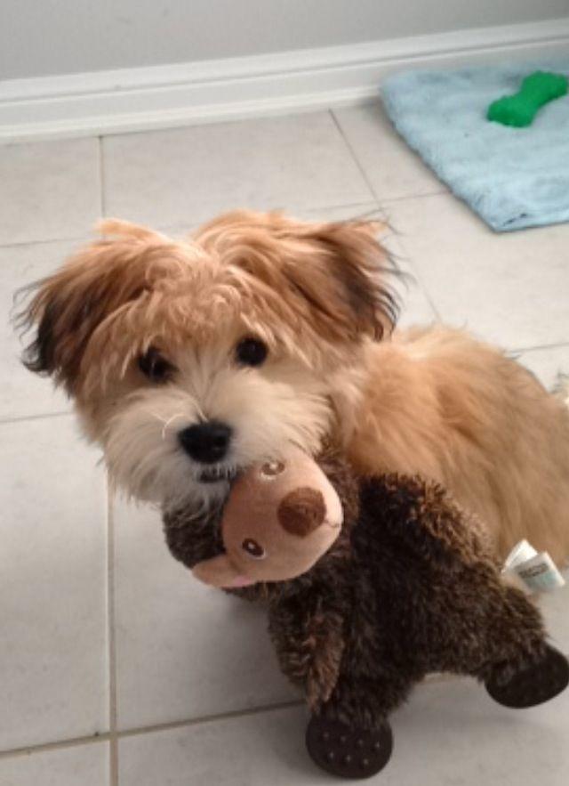 Little Monkey Morkie Morkie Yorkie Puppy Cute Dogs