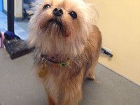 Brussels Haircut Yorkie Face Goldenretriever Hair Puppy Fur Groom
