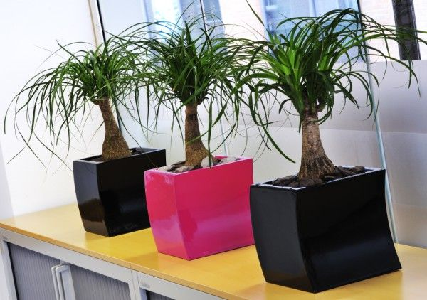 Curvy Black And Hot Pink Desktop Office Plant Displays Planted With Beaucarnea Nolina Brighten Up A Reading Uk