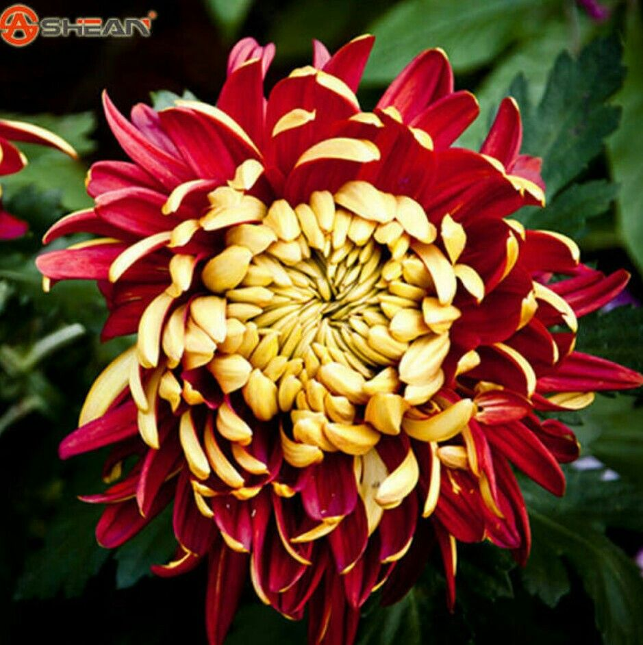 Red Chrysanthemums Red Chrysanthemums Chrysanthemum Flower Amazing Flowers