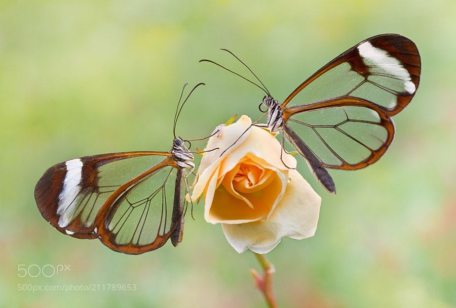 Mariposas de cristal -