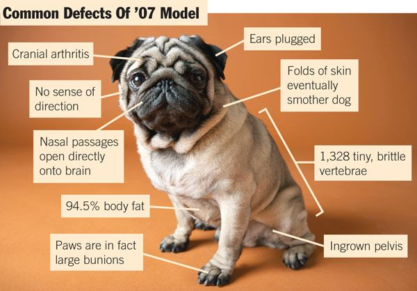 Dog Breeders Issue Massive Recall Of 07 Pugs Pugs Cute Pugs Dogs