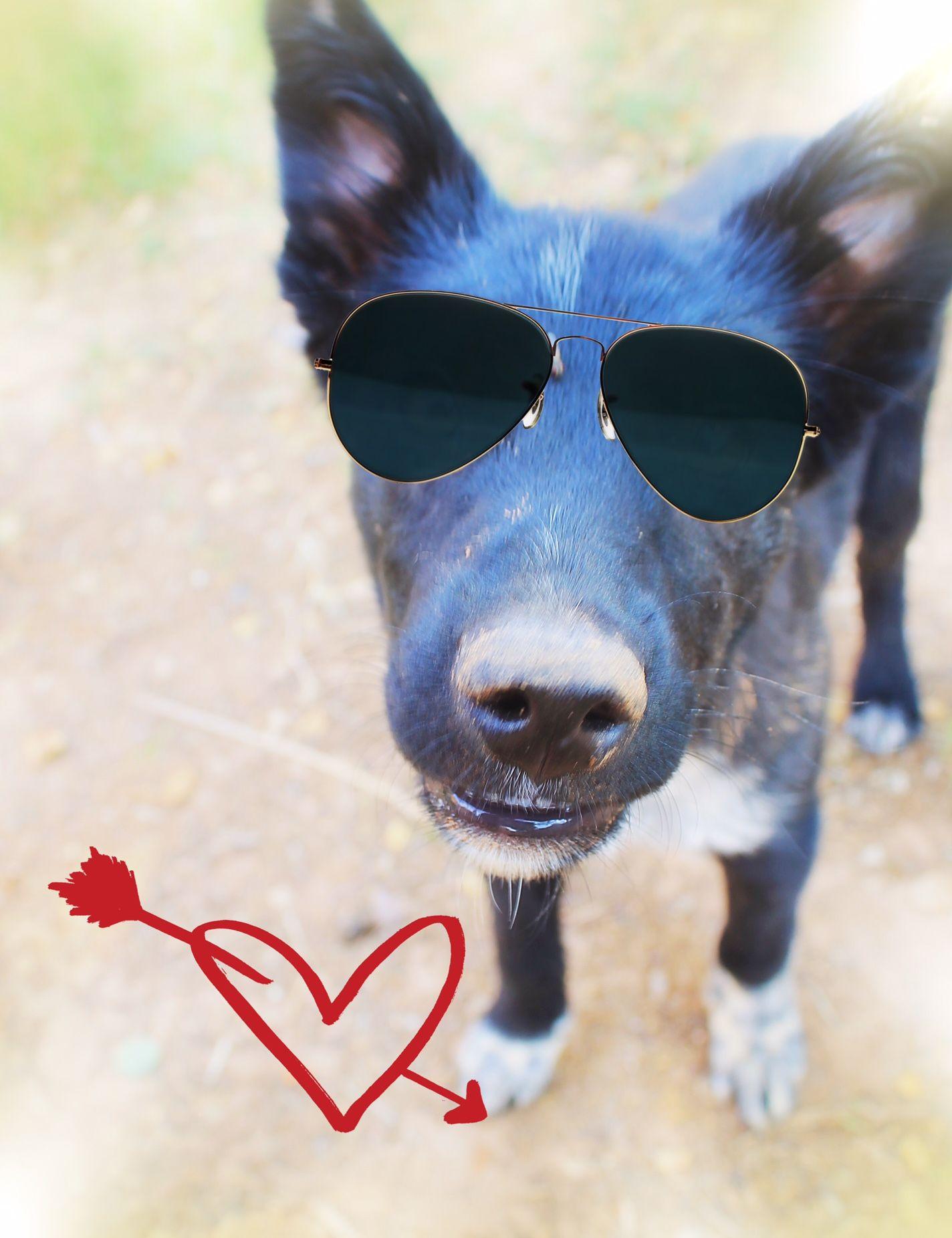 BorderAussie dog for Adoption in Chandler, AZ. ADN655687