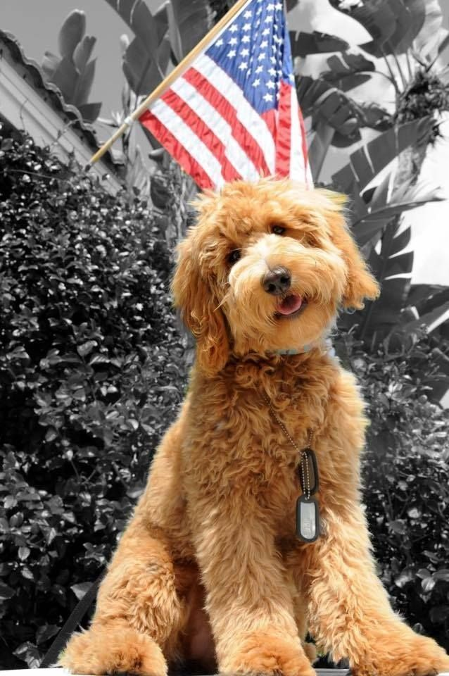 image result for types of goldendoodle haircuts cute s media cache ak0 pinimg com 1200x 0e 1e 57