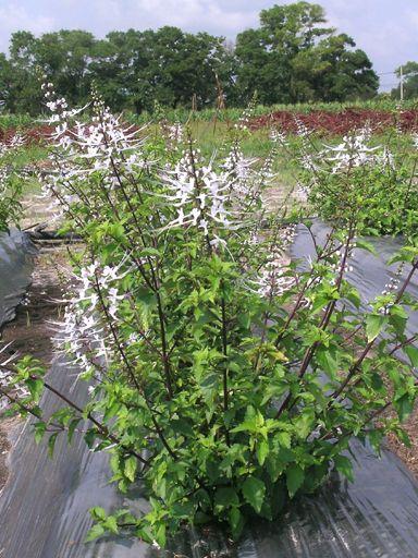 Khasiat Pokok Misai Kucing Plants