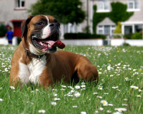 Best Dog Food for Boxers (Definitive Guide + Top 5 Reviews