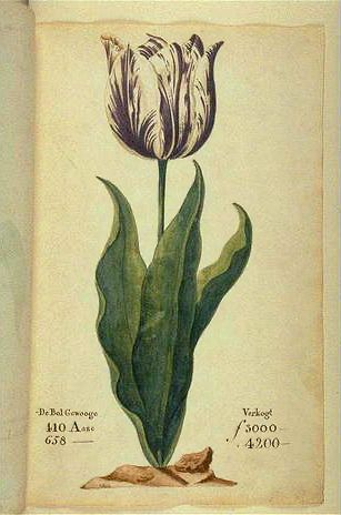 Displayed in a 1637 Dutch catalog. Its bulb cost between 3000 and 4200 guilders(florins) depending on size. A skilled craftsman at the time earned about 300 guilders a year
