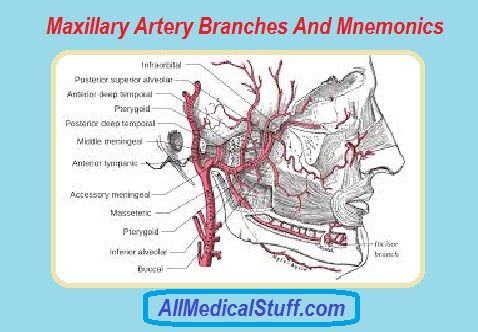 Maxillary Artery Branches And Mnemonic | All medical stuff | Pinterest