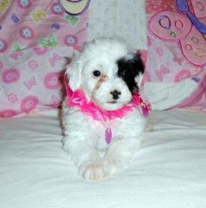 Maltipoo Puppies For Sale In Kansas Cute Baby Animals Maltipoo