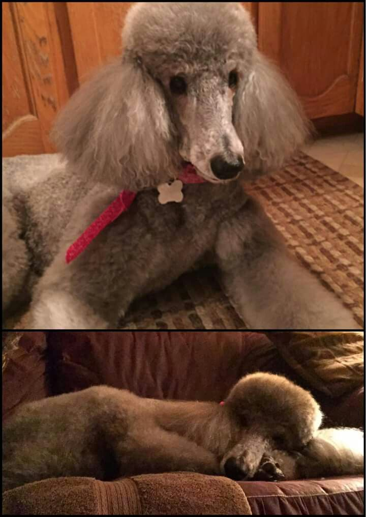 Beautiful Brown Standard Poodle Poodle Cute Puppies Cute Animals