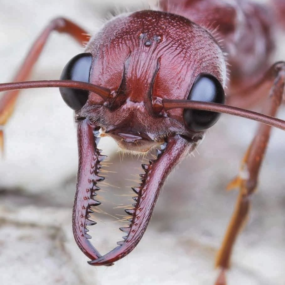 Red Bull Ant Myrmecia Brevinoda Ants Macro Photos Bugs And