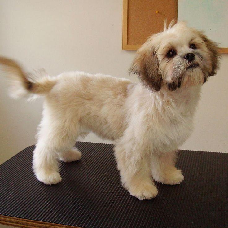 Cut Grooming Puppies Bruce Cut Hair Cuts Shih Tzu Haircuts Baby