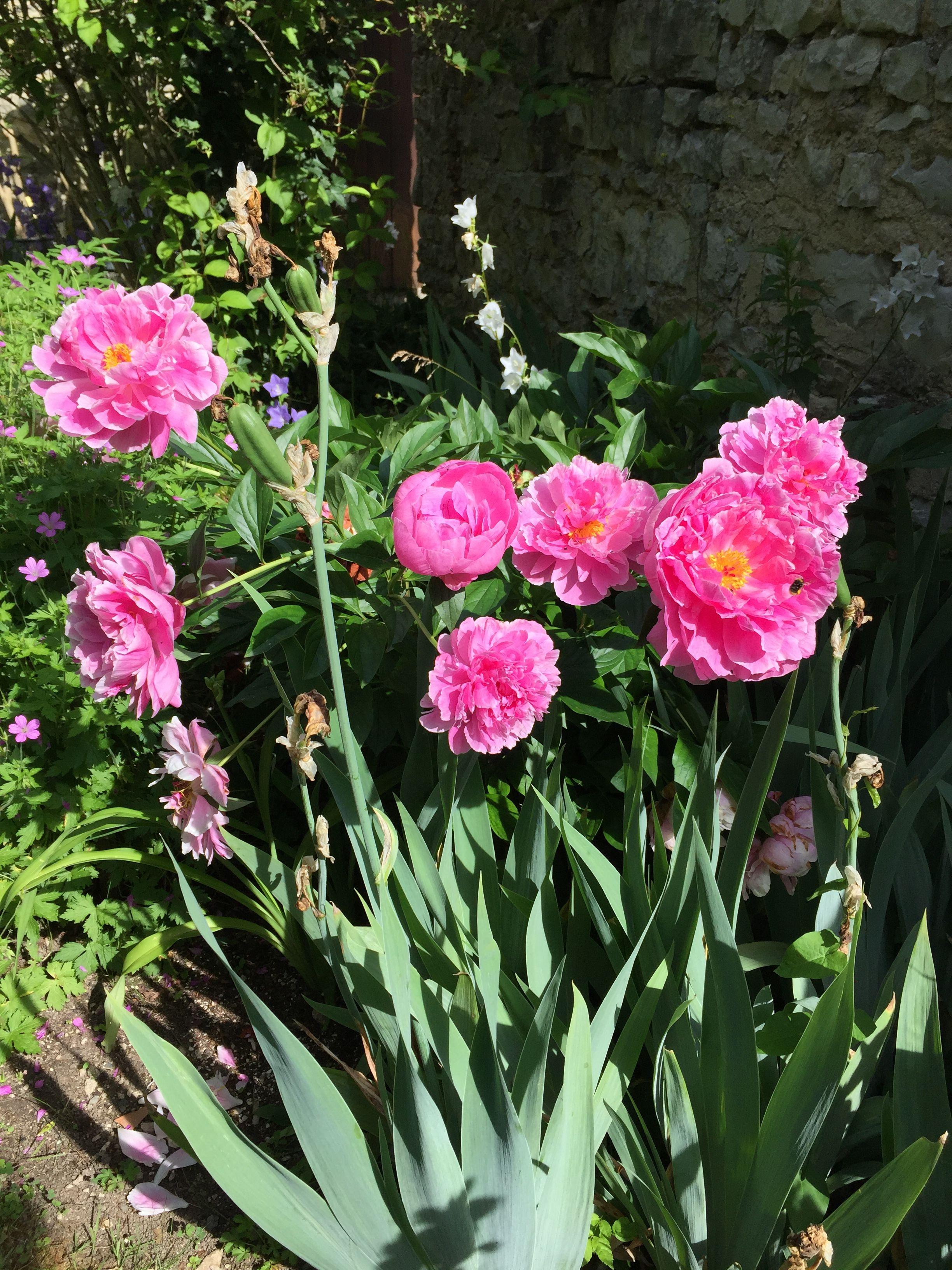 Pivoines   Planter des fleurs, Pivoine, Fleurs