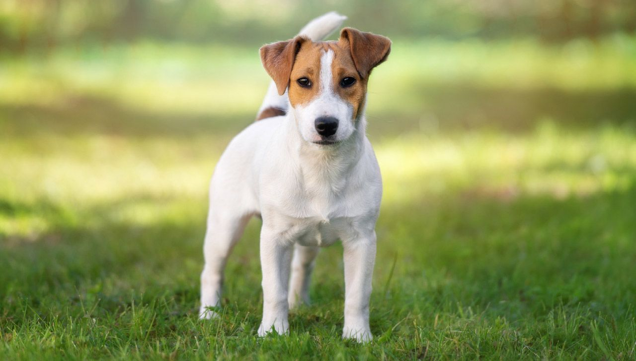 The Best Dog Breed For Each State With Images Best Dog Breeds Dog Breeds Jack Russell