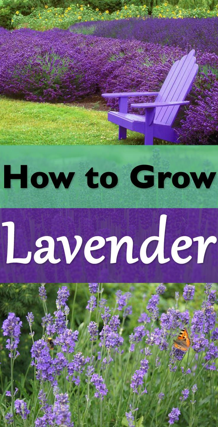 Everything About Growing Lavender Growing Lavender Plants