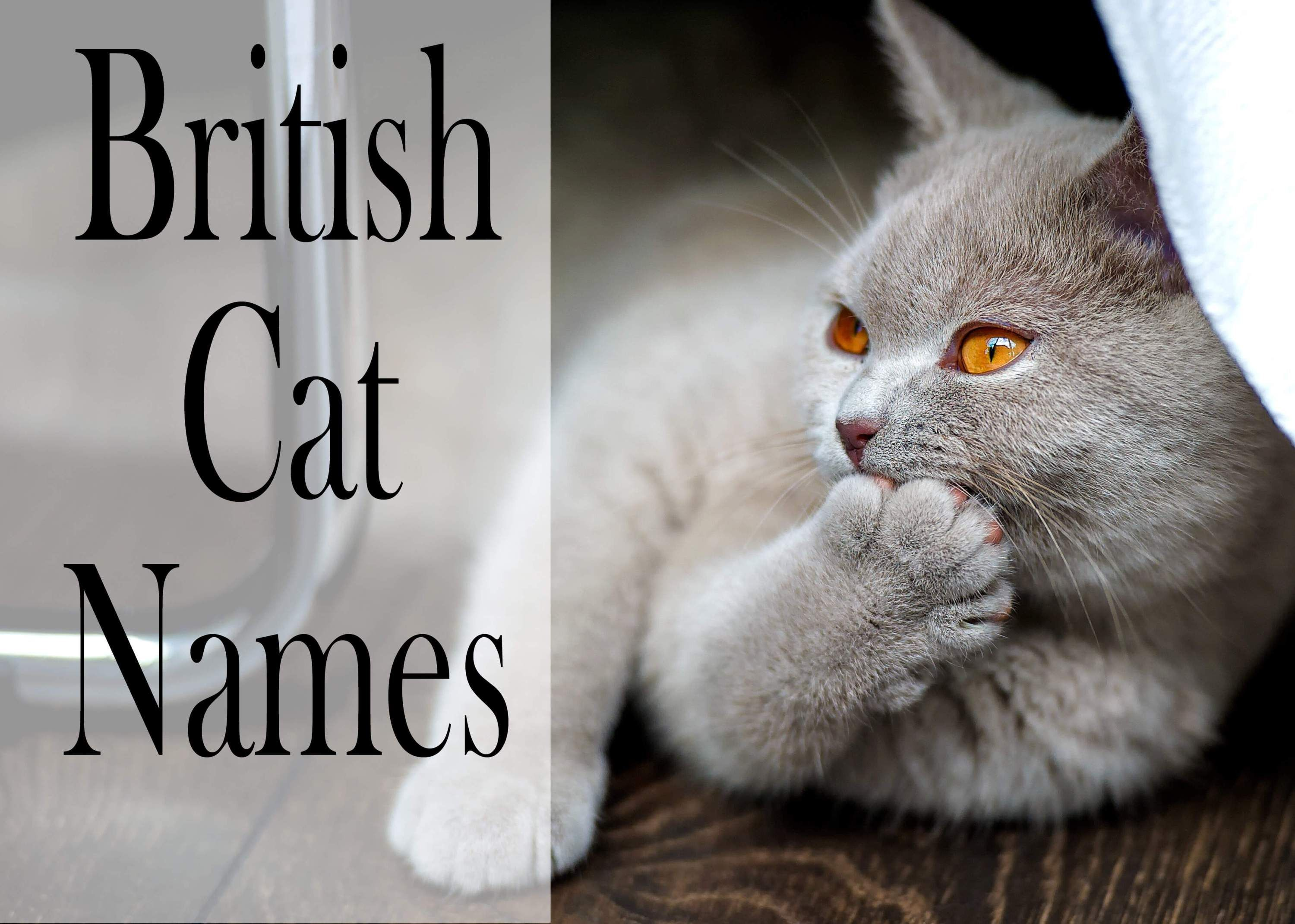 150 Popular Male And Female British Cat Names Cat names